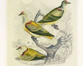 CLEARANCE Vintage Book Plate Fruit Dove