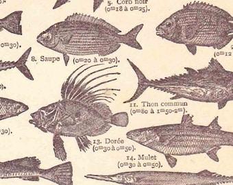 Antique French Print  1920s Book page of Engraved illustrations Coastal Sea Fish Mackerel Herring Sardine