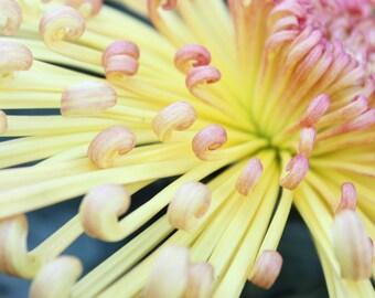 Yellow and Pink Chrysanthemum Fine Art Photo