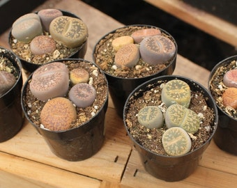 "2 2.5"" LITHOP containers  S Living Stones succulent pebble plant  succulents make great pets+"