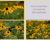Black-Eyed Susan Fine Art Photography, Set of 3 5x7 or 8x10 inch Prints, Flower Photography, Kitchen, Bath, Bedroom Photography