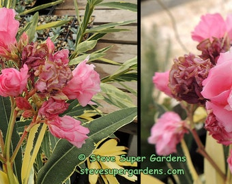 Double pink flowering variegated Oleander .  Gorgeous and extremely tough shrub.