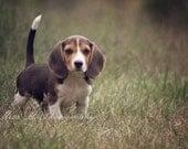 Beagle, puppy, dog, brown, green, childrens, nursery, spring, summer, home decor, Original Fine Art Photograph, 5x7