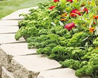 100 Curly Moss Parsley Seeds-1256