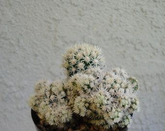Mammillaria Gracilis cv Arizona Snowcap