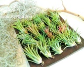 TREASURY ITEM -  25 Air plants - Set  Tillandsia air plants - wedding favors - diy projects - Moss - terrariums