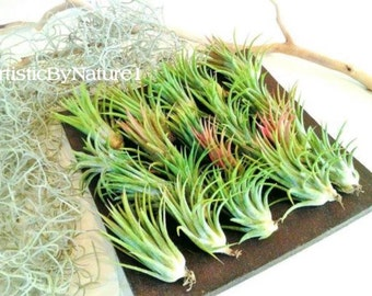 20 Air plants - FREE MOSS -  Set  Tillandsia air plants - wedding favors - diy projects - Moss - terrariums