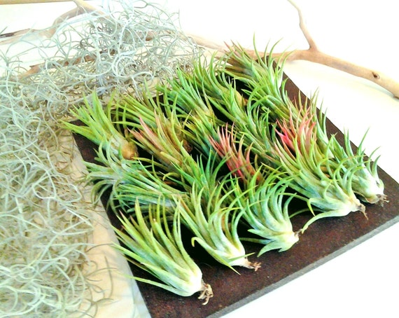 50 air plants free moss bulk air plants wholesale air for Cheap air plants