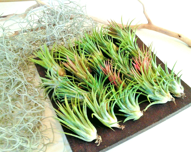 50 Air Plants Free Moss Bulk Air Plants Wholesale