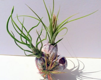 "Air Plant Barnacle Planter Small Barnacle with 3 Air plants size range 3""x3"""