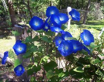 Heirloom 100 Seeds Large morning glory Ipomoea indica Cypress vine moonflower Flower Bulk seeds B1078