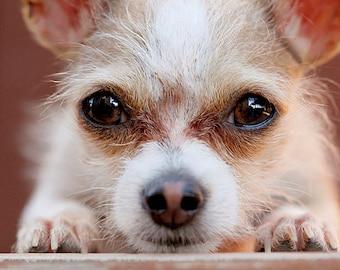 Big Al, Rescue Chihuahua, Photo Blank Card