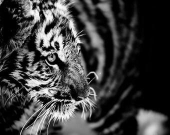 Tiger Cub Photograph - Wildlife Art Photography - Black and White Animal Home Decor - Monochrome Fine Art Photography