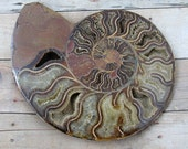 HUGE Ammonite Fossil, Terrarium and Craft Supply