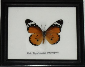 Real BUTTERFLY Collection Taxidermy in Frame / BTF01BB2