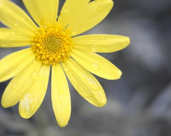 "Yellow Daisy photo, flower photography, yellow and grey wall art, ""Color Splash Daisy"""