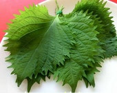 Green Shiso, Perilla frutescens, 100 seeds, tangy Japanese herb, sushi bar, Asian heirloom, cool weather, fragrant and delicious