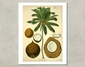Coconut And Palm Tree Botanical Print, 1890 - 8.5 x 11 Print -  also available in 11x14 and 13x19 - see listing details