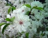 mountain - laurel - white - pink - blooms - unique - delicate - flowers - photograph