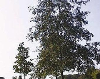 500 Gray Alder Tree Seeds, Alnus incana