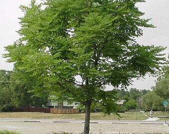 50 Kentucky Coffee Tree Seeds, Gymnocladus dioicus