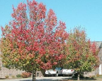 50 Bradford Pear Tree Seeds, Pyrus calleryana