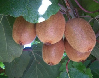 50 Kiwi Fruit Tree Seeds, Actinidia chinensis