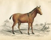 Antique Hand Coloured Bookplate Color Book Plate Print Engraved Jardine 1840 Naturalists Mammalia Horses Yo To Tze Horse Plate 17