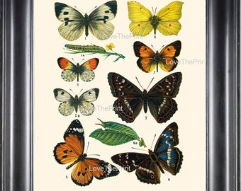 EUROPEAN BUTTERFLY PRINT 8x10 Botanical Art Print 2 Beautiful Butterflies Postillon Yellow Green Caterpillar Insect Green Leaves