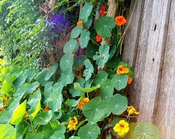 Heirloom Nasturtium Seeds, Cottage Garden, Edible Flower Seeds, Victorian Garden, Spring Garden