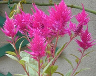 Celosia seeds, selosia seeds , mix multicolor celosia seeds, code 120, gardening , flower seeds, spring flowers seeds