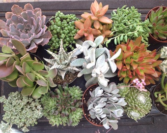 Special listing for  15 medium succulents. Create your own container garden or centerpiece.