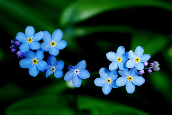 Forget-me-not greetings card. Photo card.  Macro photograph of blue forget-me-nots. Blank card