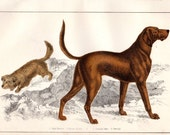 1852 Antique Dog Print Skye Terrier Blood Hound Natural History Hand Colored Engraving