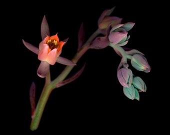 Succulent-red