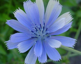 100 *HEIRLOOM* Chicory Seeds
