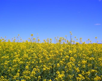 Field filled with yellow flowers