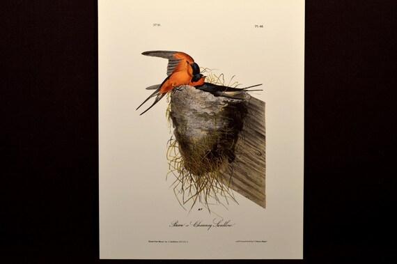 Audubon Print Barn Swallow Bird Original Book By