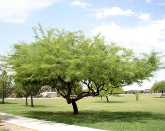 50 Seeds Prosopis chilensis Chilean Mesquite Tree