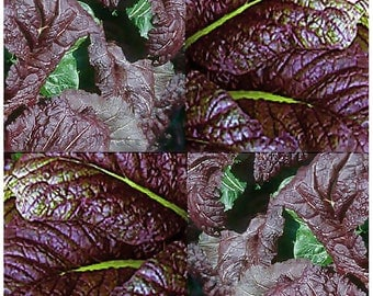 100 x ASIAN RED GIANT Mustard Seeds ~ Must Try For Salads ~  Only 45 Days