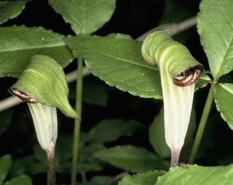 15 Jack in the pulpit Bulbs(Arisaema triphyllum)