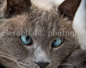 Cross-Eyed Blue Eyed Cat - Digital Download Fine Art Photography Animal Photography Tonkinese Cat - PatrickRabbatPhotos