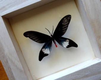 Real Single Butterfly Framed - Taxidermy - Home Decoration - Collectibes