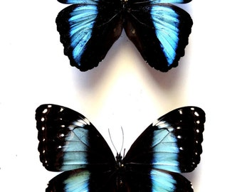 Real Morpho Achilles Pair - Mounted Specimens - Taxidermy - Collectibles
