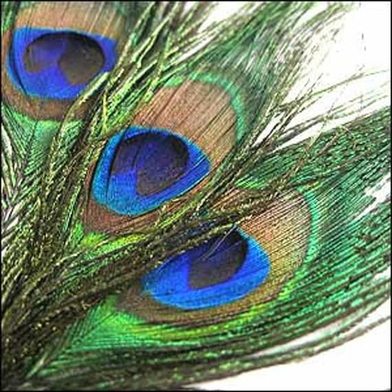 Peacock Feather. Pack of 3. JR01637