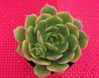 Small Succulent Plant Echeveria Ramillette