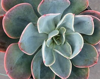 Medium Succulent Plant Echeveria Blue Sky
