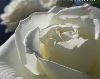 White rose photograph, 8x8 flower gift for mom, Mother's Day wedding Easter wall art, feminine home decor, gift for grandmother for her