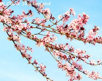 Cherry blossoms, spring art nature photography pink flowers elegant modern, 8x10 11x14 bedroom decor wall decor fine art photography