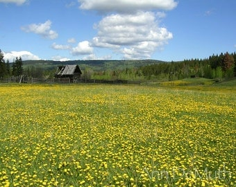 Photography, Old log cabin by field of yellow flowers, blue sky, green white, British Columbia, Fine Art Print, Home Decor, 5x7, 8x10, 11x14